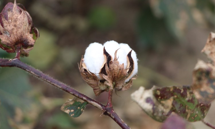 cracked boll on a cotton plant