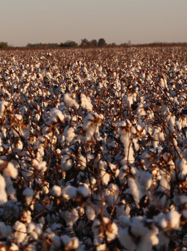 cotton at harvest time