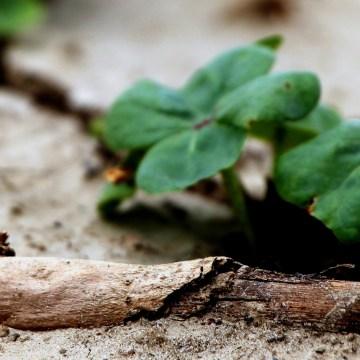 cotton plants emerge