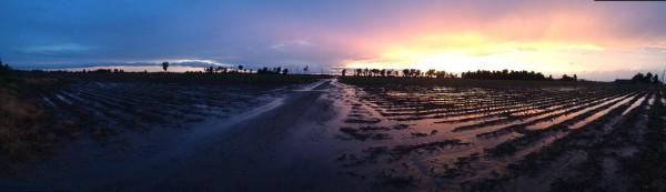 rainy cotton field at sunset