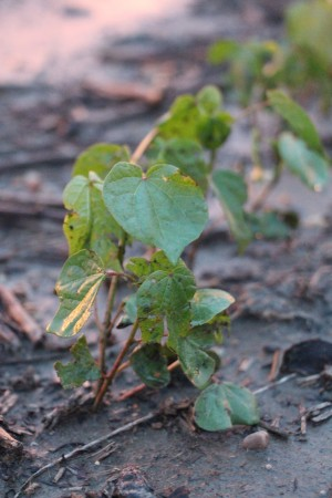 young cotton plants