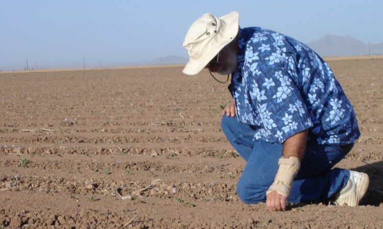 cotton breeder checking emergence