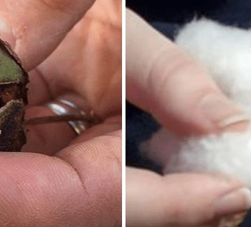 cotton bolls big & small