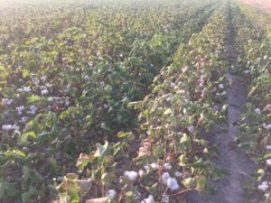 Coastal Bend cotton 2016