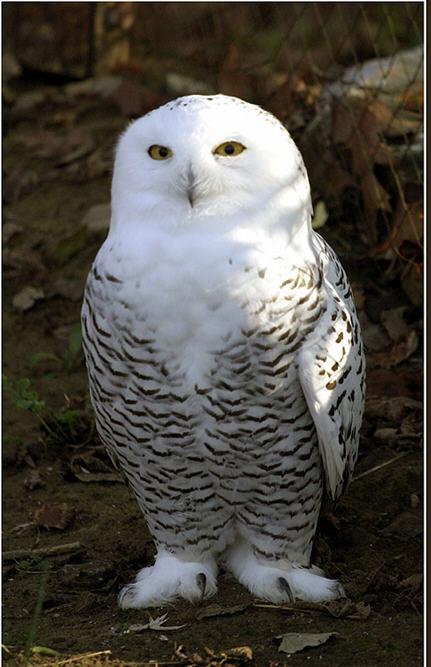 Snow owl2