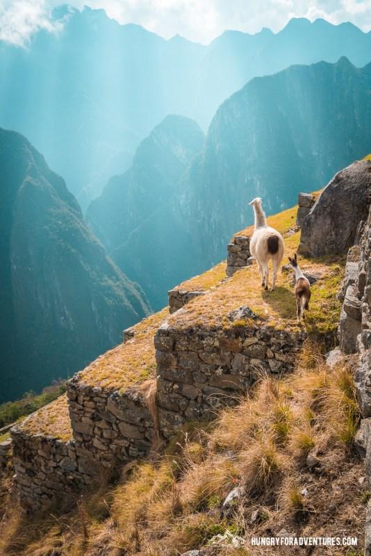 Baby Lama and Mama Lama Climbing Machu Picchu Steps
