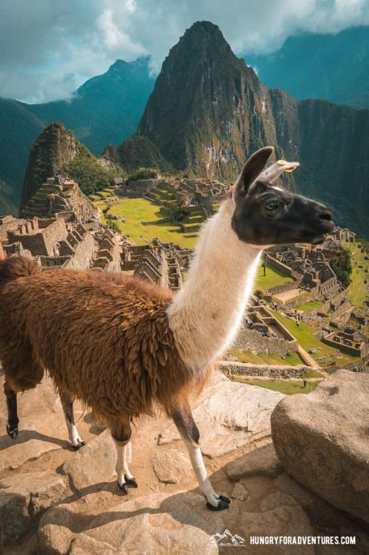 Lama Walking by at Machu Picchu