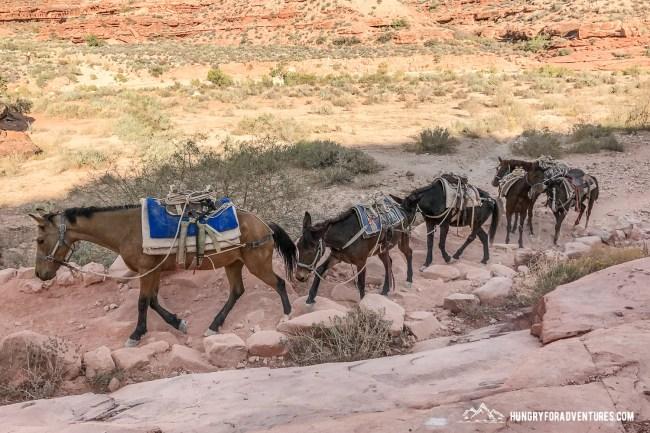 Pack animals, mules and horses, in Havasupai