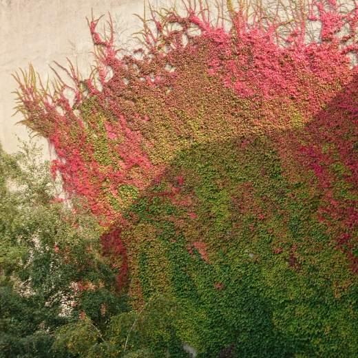 Buntes Efeu im Herbst