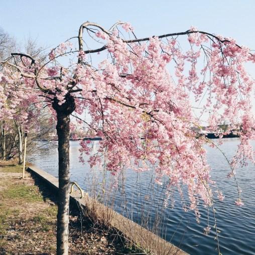 blühender Kirschbaum an der Spree