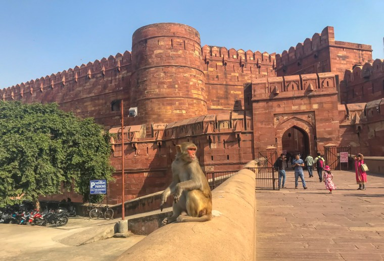monkey-sitting-in-front-of-agra-fort