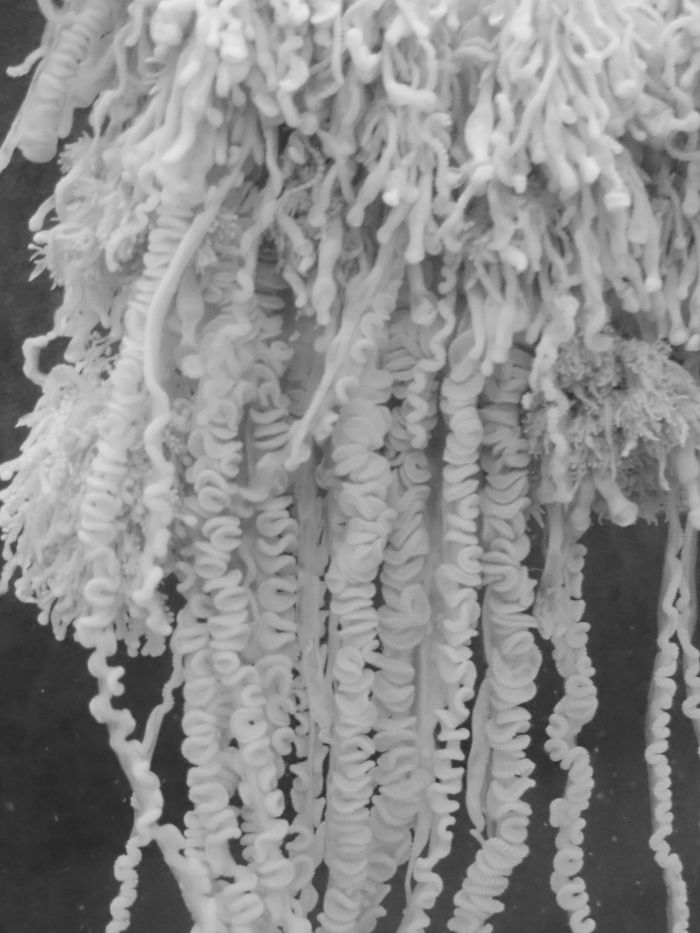 Close up of Physalia tentacles