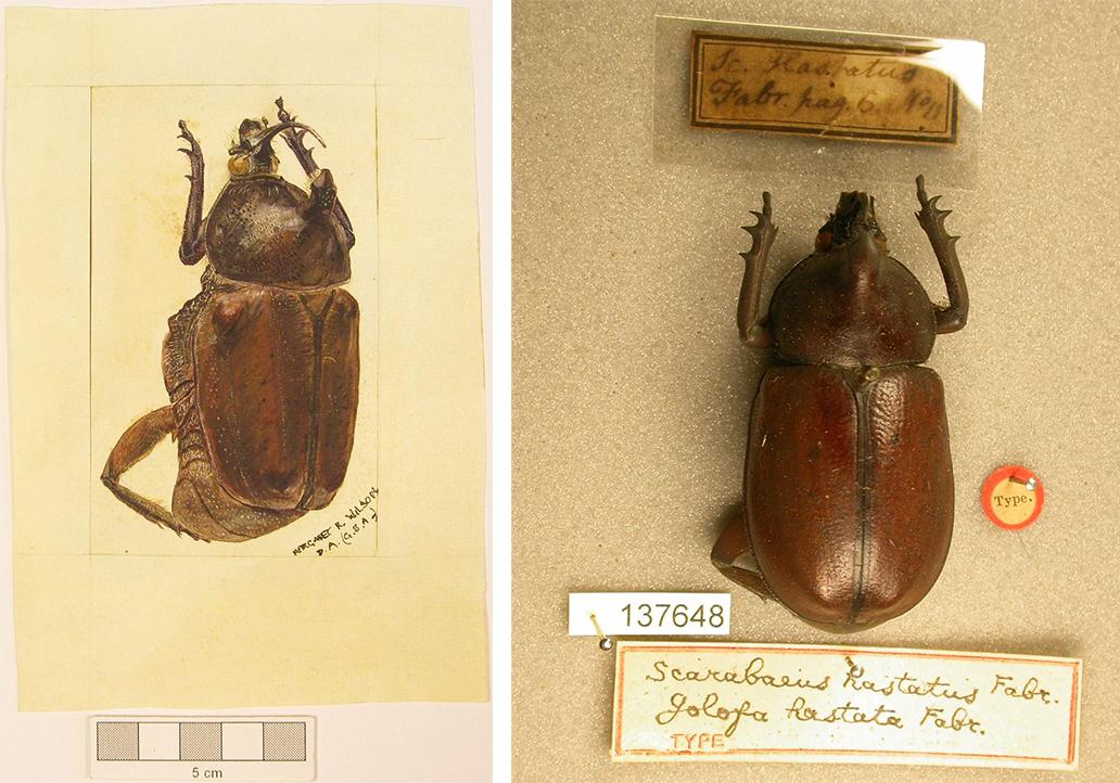 Figure 1. Margaret R. Wilson, Scarabaeus hastatus, watercolour on paper, The Hunterian, GLAHM:141764. Scarabaeus hastatus, dry pinned specimen, The Hunterian, GLAHM:137648.
