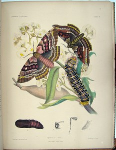 Lepidoptera image