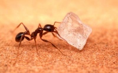 Sugar Ant Control
