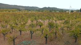 David Fulton's petite syrah grapes