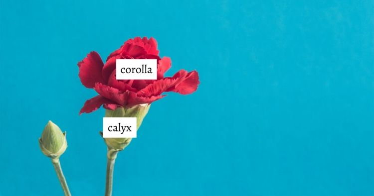 HuntersWoodsPH | Montessori Botany | Parts of a Flower | Calyx and Corolla