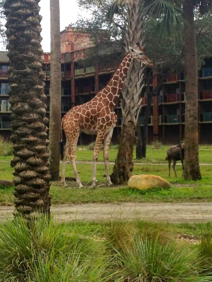 Giraffe on the Savannah at Disney's Kidani Village.