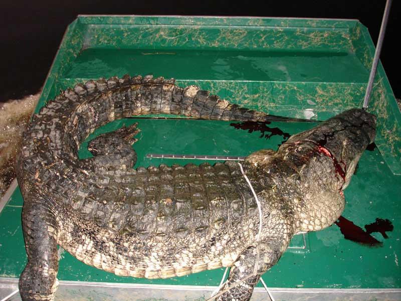 hunting-in-florida-alligator-hunting-006