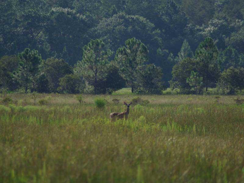 hunting-in-florida-whitetail-deer-hunting-009