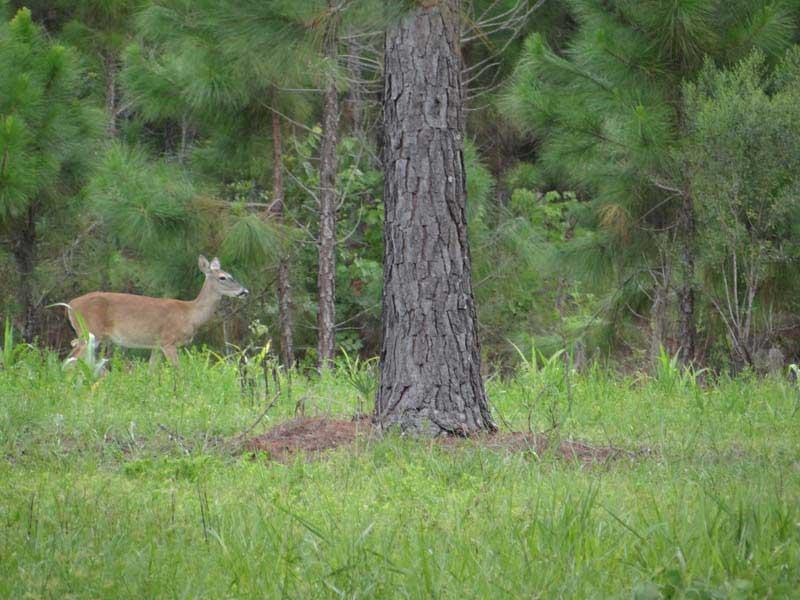hunting-in-florida-whitetail-deer-hunting-015