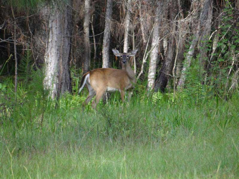 hunting-in-florida-whitetail-deer-hunting-022
