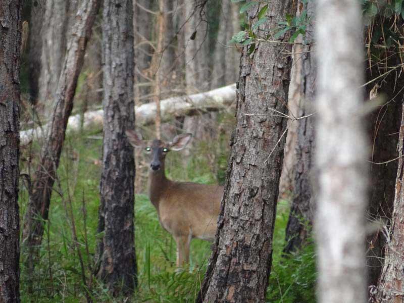 hunting-in-florida-whitetail-deer-hunting-026