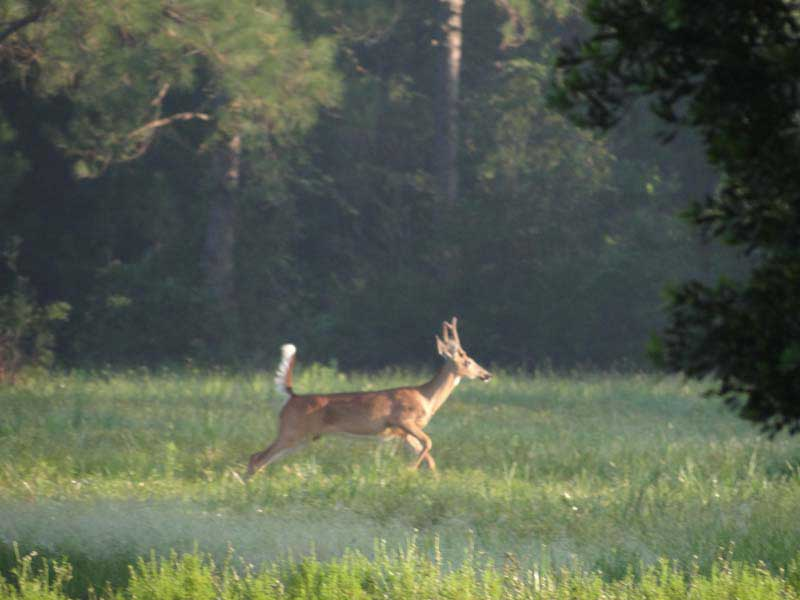hunting-in-florida-whitetail-deer-hunting-027