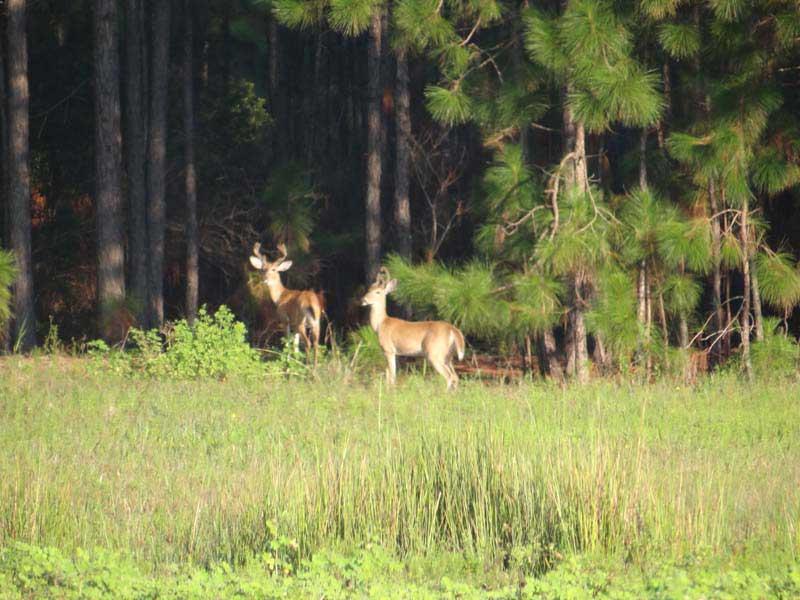 hunting-in-florida-whitetail-deer-hunting-029