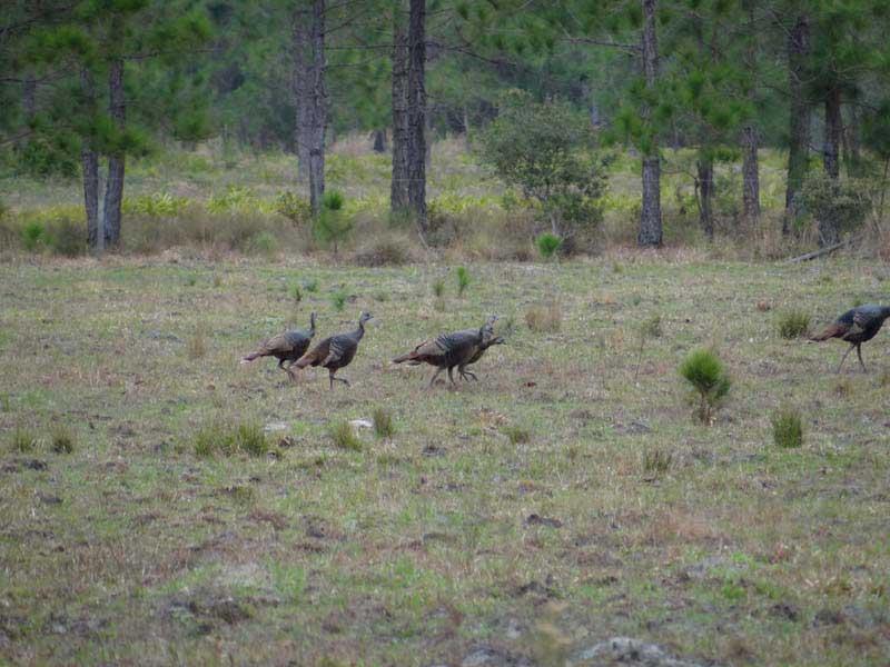 osceola-florida-turkey-hunting-001