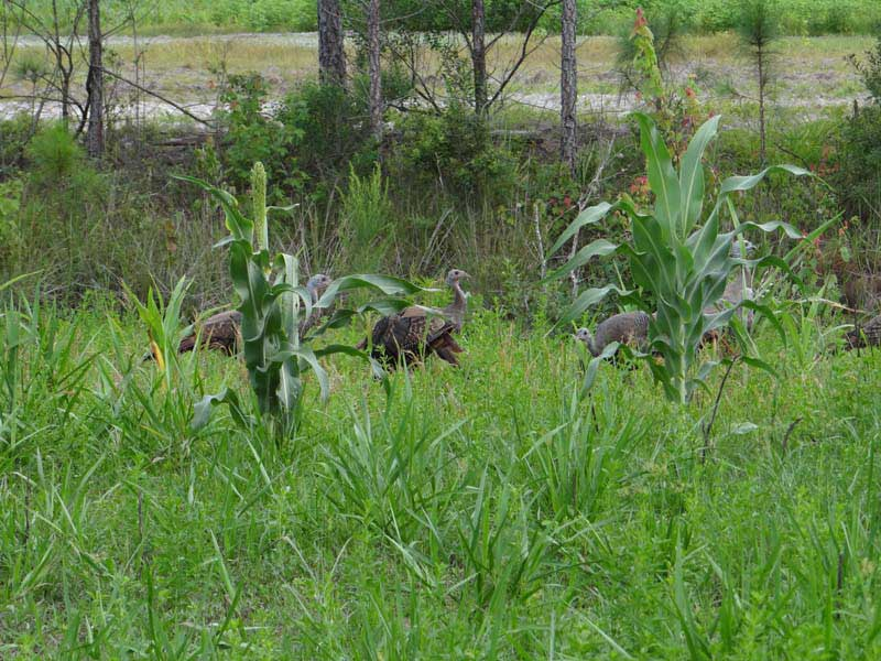 osceola-florida-turkey-hunting-009