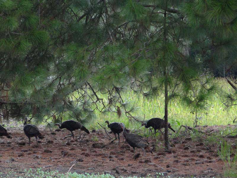 osceola-florida-turkey-hunting-012