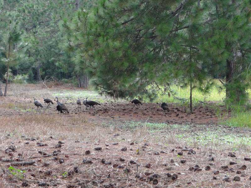 osceola-florida-turkey-hunting-013