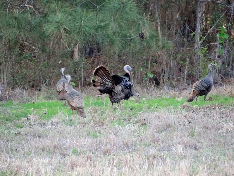 osceola-florida-turkey-hunting-022