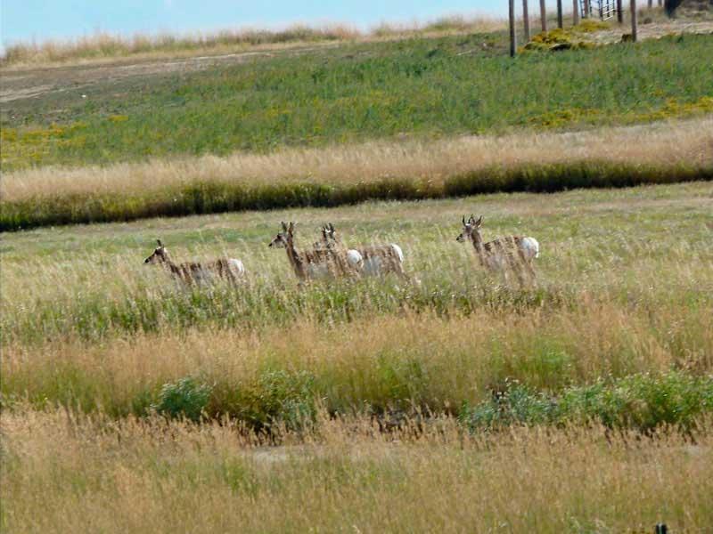 antelope-hunting-wyoming-005