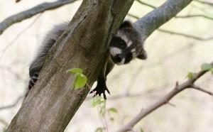 raccoon.Dingel