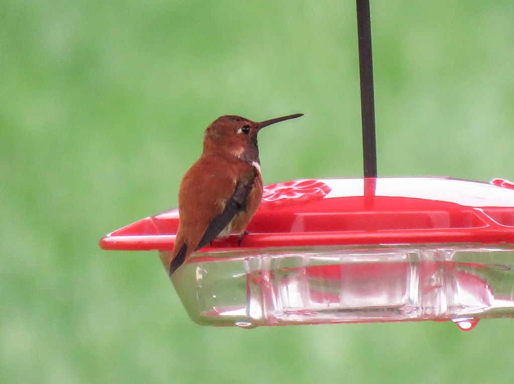Rufous Hummingbird by Sandy Lockerman