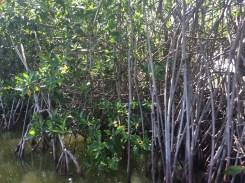 Mangroves in La Boquilla: Cartagena, Colombia