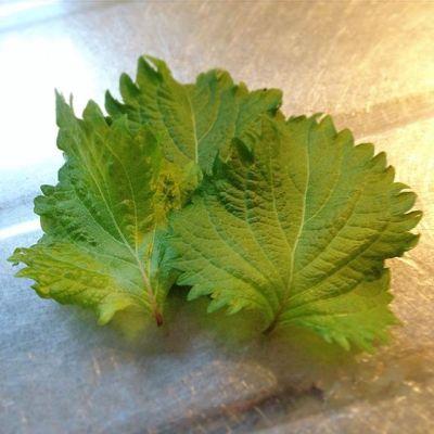 夕飯用にシソの葉を三枚収穫。