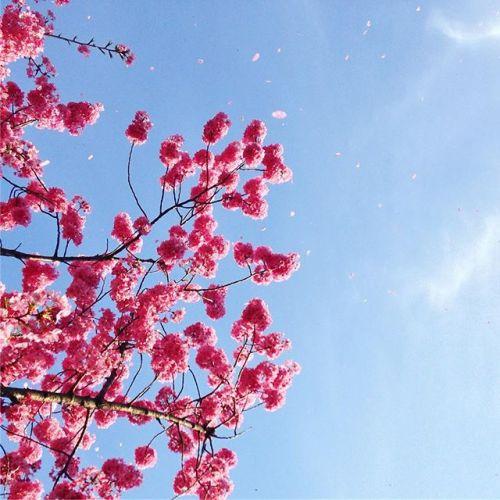 もう散り始めてましたよはらはら散る桜の姿が一番好きです#今日の#桜#桜吹雪#綺麗だ#花見酒#まだ#してないな#暖かい日の#花見は#最高#立ち止まって#見上げる#だけの#お花見#でした