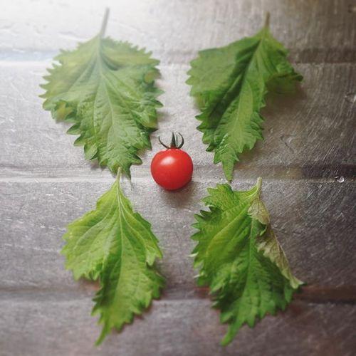 初収穫〜!冷やして今夜食べよう〜#ミニトマト#一粒#収穫#超狭小#プランター#農園#日報