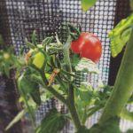 次のが赤くなってきた〜嬉しい!のだけれど、八百屋で普通のトマトが一箱ぎっしり入って380円…なんかむなしい(涙)買ったらトマトの乱れ喰い!できるなぁ#トマト#激安#超狭小#プランター#農園#日報