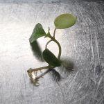 間引いたモロヘイヤを水に浮かべておいたら、切り口から根が生えてきてる。生命力あるなー#モロヘイヤ#生命力#見習いたい#超狭小#プランター#農園#日報