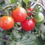 ホントにミニなミニトマト。でも甘い!皮はかなり厚めです。どうすれば普通のミニトマトクラスのサイズに育ってくれるのか…#ミニ#ミニトマト#超狭小#プランター#農園