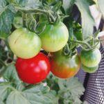 順調なミニトマト。夏の香りがします。順番に赤くなってます。売ってる房付きトマトって全部が赤いけれど、あれはどうやっているのだろう?#トマト#順調#超狭小#プランター#農園#日報