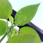 モロヘイヤも柔らかい葉っぱを中心に襲われています…(涙)お。パセリの花が咲き始めた〜もう少し咲いたら、写真撮ろう。種とれるのかな?#超狭小#プランター#農園#日報