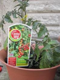 Timmy Tomato plant