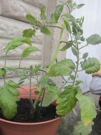 Toby Tomato plant