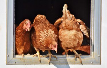 chicken-3662513_960_720
