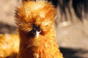 cover-chicken-4030574_960_720